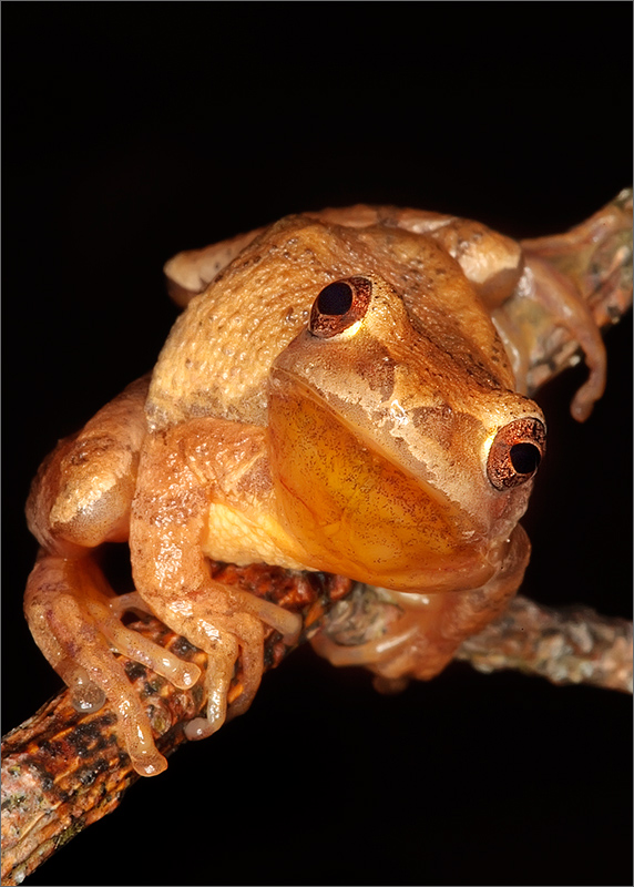 amphibian, herp, frog, toad, Hyla crucifer, spring peeper, treefrog, anura, photo