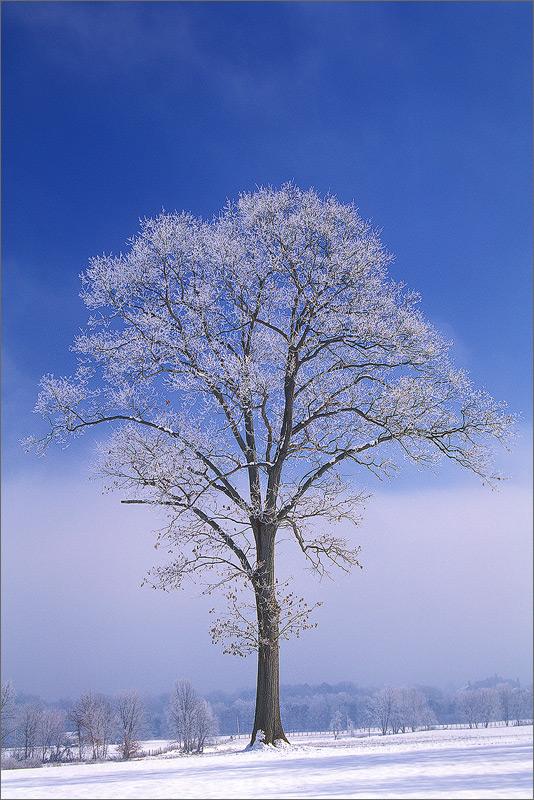 Tree, winter, snow, greenfield, Massachusetts,, photo