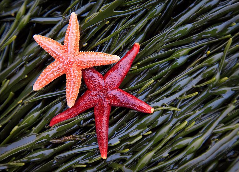 Star fish, sea stars, seaweed