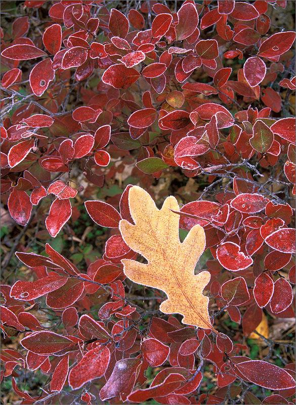 Frost, leaf, autumn, photo