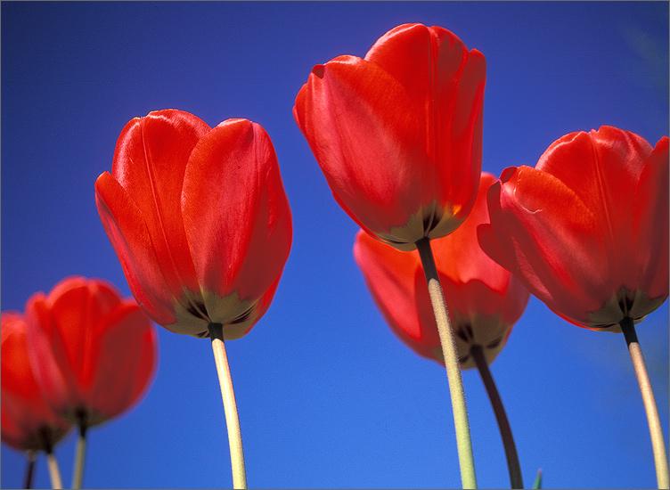 Tulips, blue, sky