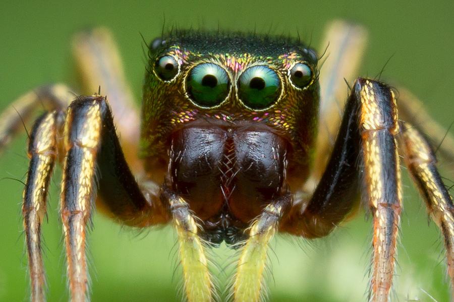 jumping spider, salticidae, Patrick Zephyr, Massachusetts,Tutalina elegans