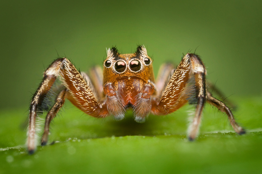 tutalina elegans, salticidae, jumping sider, massachusetts, photo