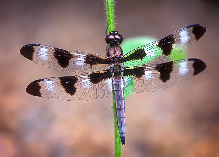 insect, , dragonfly, twelve spotted skimmer, photo