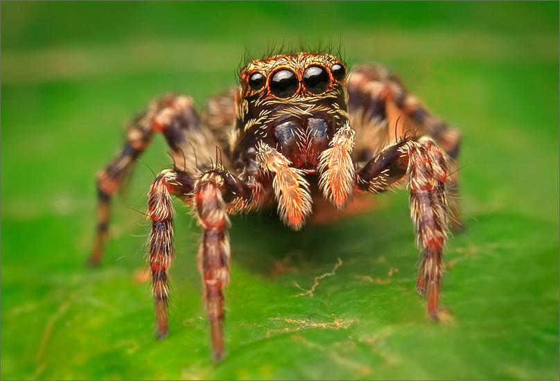 spider, jumping spider, arachnida, salticidae, insect