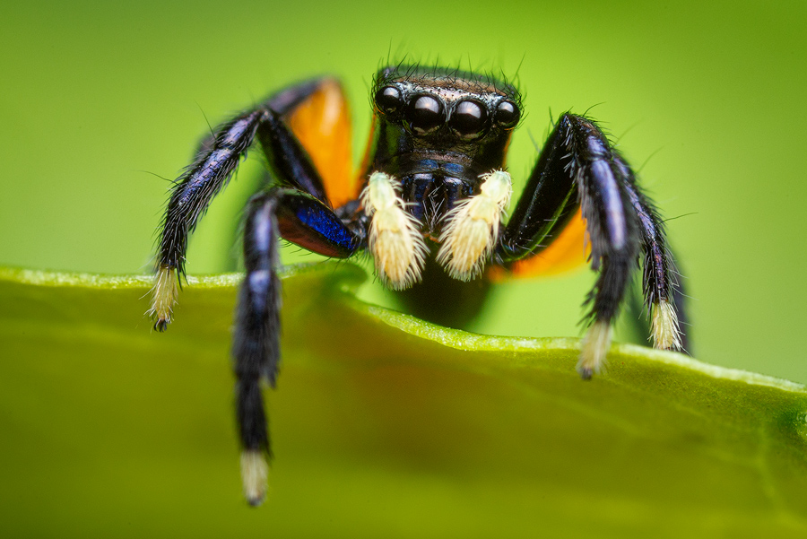 euophrys monadnock, salticidae, jumping spider