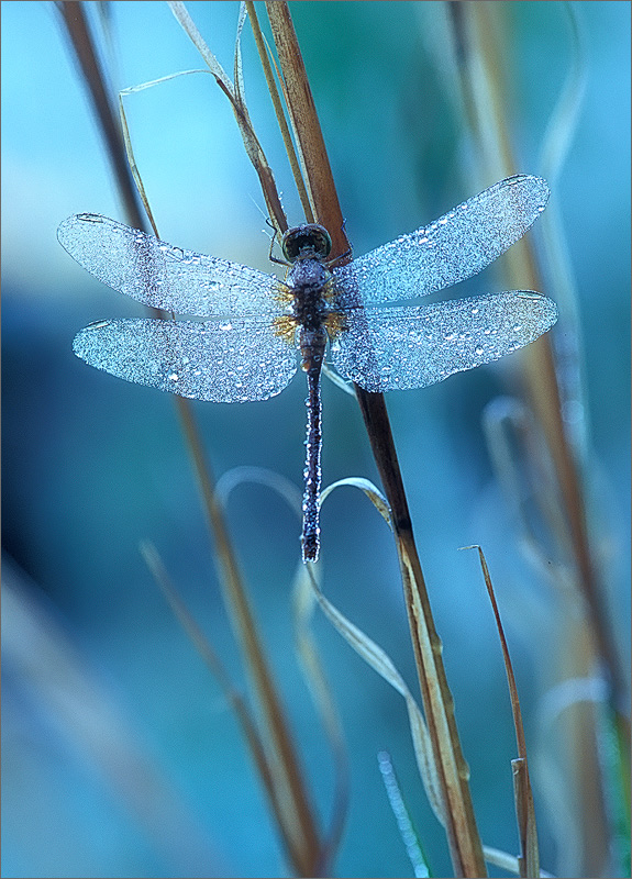 insect, , dragonfly, meadow hawk, photo