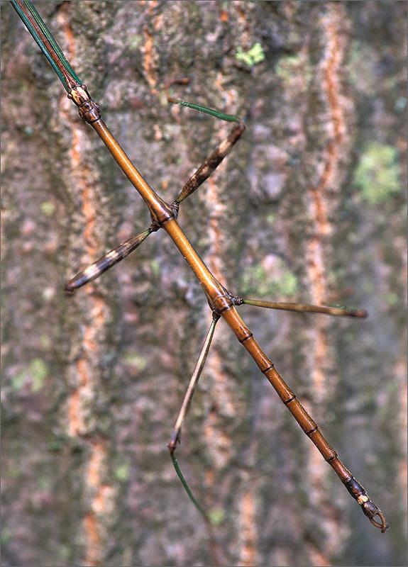 insect, walking stick, photo