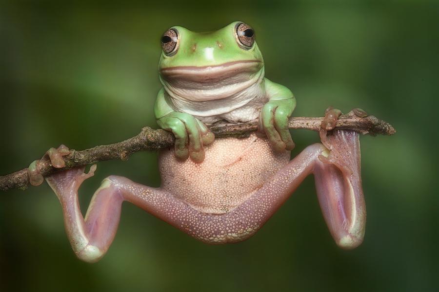 white's treefrog, amphibian, frog, Patrick Zephyr,Litoria caerulea