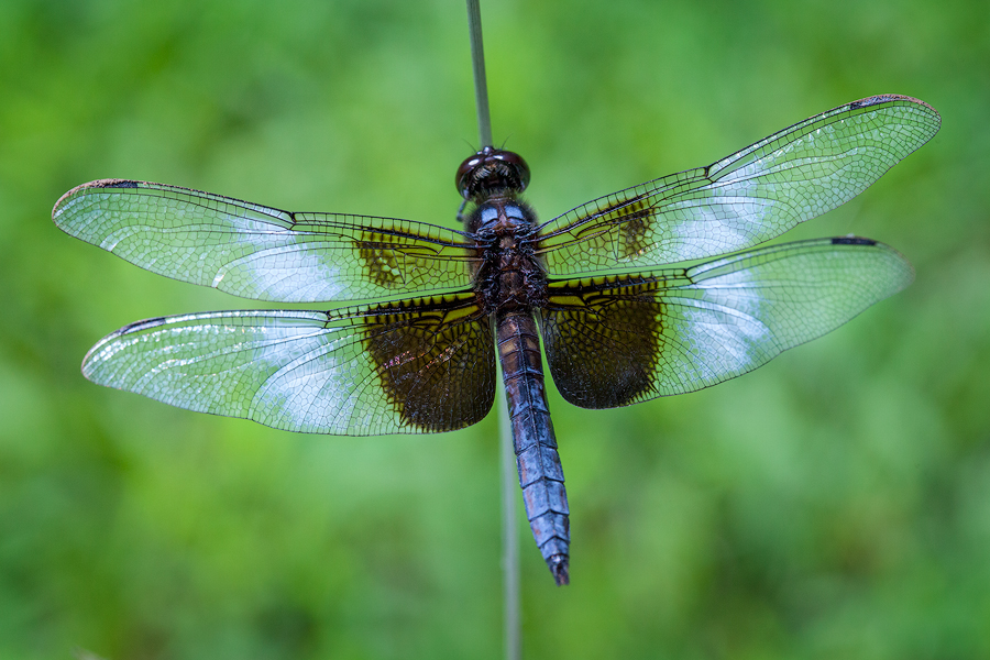 dragonfly, slaty skimmer, Massachusetts, blue, patrick zephyr, macro, insect, photo
