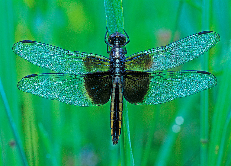 insect, , dragonfly, widow skimmer, photo