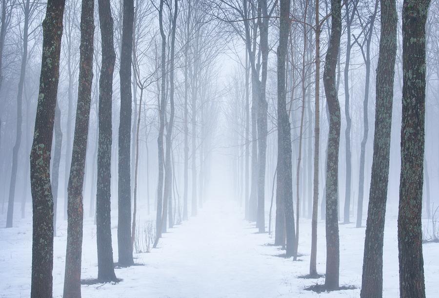 trees, fog, winter