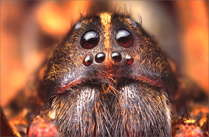 spider, jumping spider, arachnida, salticidae, insect, wolf spider