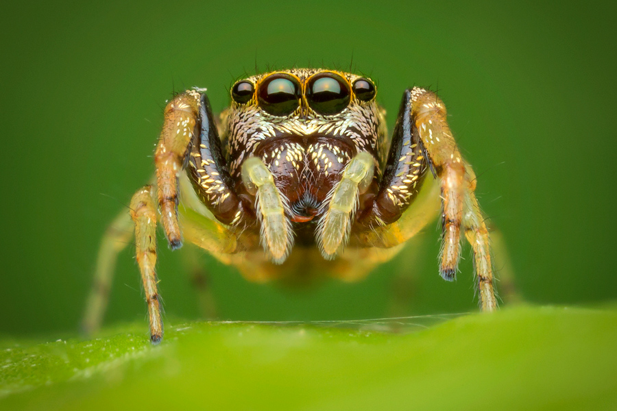 zygoballus rufipes, salticidae, jumping spider, photo
